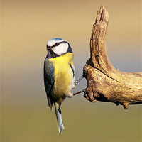 Buy canvas prints of Blue tit by Scottish Landscape and Wildlife Canvas Print