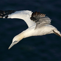 Buy canvas prints of Northern Gannet by Scottish Landscape and Wildlife Canvas Print
