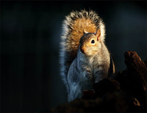 Grey Squirrel Canvas Print by Scottish Landscape and Wildlife Canvas Print