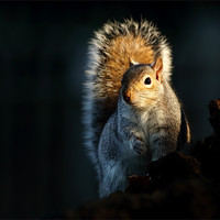 Buy canvas prints of Grey Squirrel by Scottish Landscape and Wildlife Canvas Print
