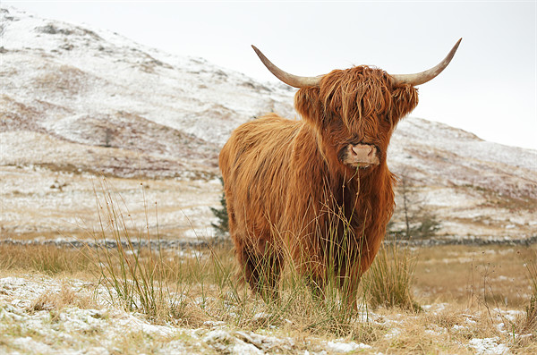 Highland Cow Canvas print by Scottish Landscape and Wildlife Canvas Print