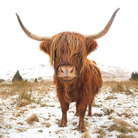 Buy canvas prints of Highland Cow by Scottish Landscape and Wildlife Canvas Print