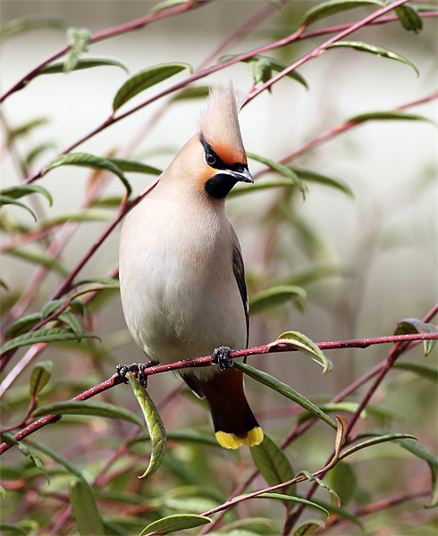 Waxwing Canvas Print by Scottish Landscape and Wildlife Canvas Print