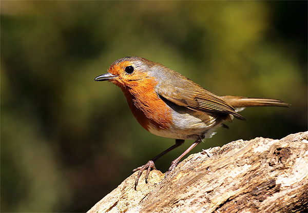 Robin Canvas Print by Scottish Landscape and Wildlife Canvas Print