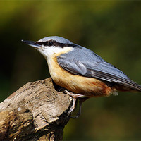 Buy canvas prints of Nuthatch by Scottish Landscape and Wildlife Canvas Print
