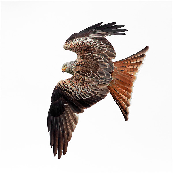 Red Kite Canvas Print by Scottish Landscape and Wildlife Canvas Print