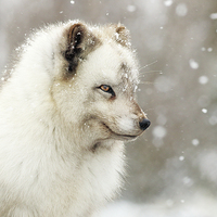 Buy canvas prints of  Arctic Fox by Scottish Landscape and Wildlife Canvas Print