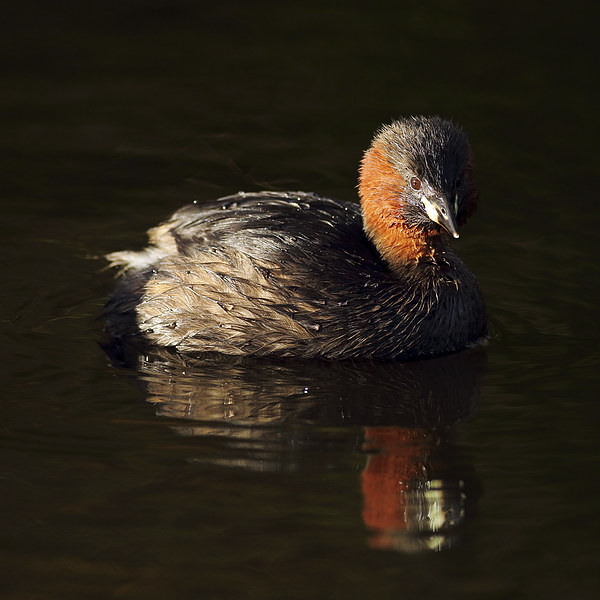 Little Grebe Canvas Print by Scottish Lands and Wildlife C