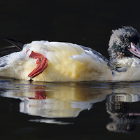 Buy canvas prints of Goosander by Scottish Lands and Wildlife C