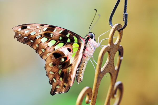 Tailed Jay Canvas Print by Grant Glendinning