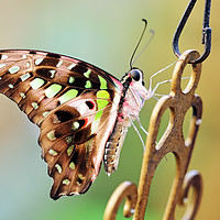 Buy canvas prints of Tailed Jay by Grant Glendinning