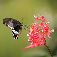Buy canvas prints of Citrus Swallowtail by Grant Glendinning
