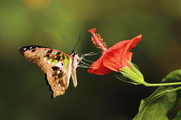 Tailed Jay Butterfly Canvas Print by Grant Glendinning
