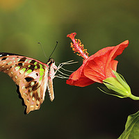 Buy canvas prints of Tailed Jay Butterfly by Grant Glendinning