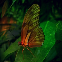 Buy canvas prints of JULIA FLAMBEAU BUTTERFLY by Jacque Mckenzie