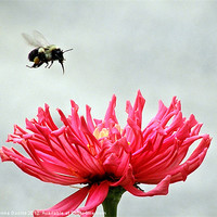 Buy canvas prints of Gerbera and the Bee by Donna Duclos