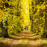 Buy canvas prints of Autumn Leaves by Ian Collins