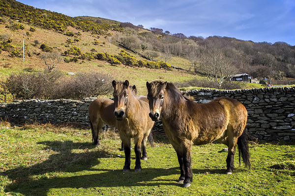 Exmoor Ponies Canvas Print by Dave Wilkinson  North Devon Photography