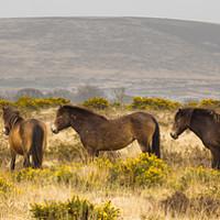 Buy canvas prints of Exmoor Ponies by Dave Wilkinson North Devon Ph