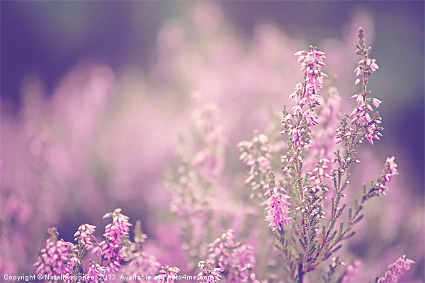 Dreamy Pink Heather Canvas print by Natalie Kinnear