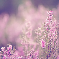 Buy canvas prints of Dreamy Pink Heather by Natalie Kinnear