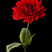 Buy canvas prints of Red Dahlia Flower against Black Background by Natalie Kinnear