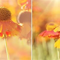 Buy canvas prints of Sunlit Orange Helenium Flowers Triptych by Natalie Kinnear