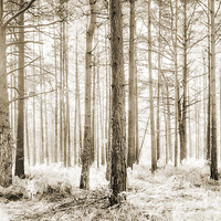Buy canvas prints of Sunlit Hazy Trees in Neutral Colours by Natalie Kinnear