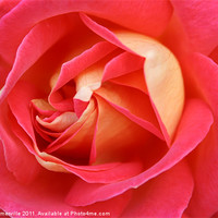 Buy canvas prints of pink rose by allan somerville