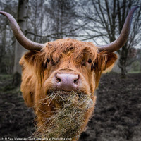 Buy canvas prints of Highland Cow by Paul Messenger