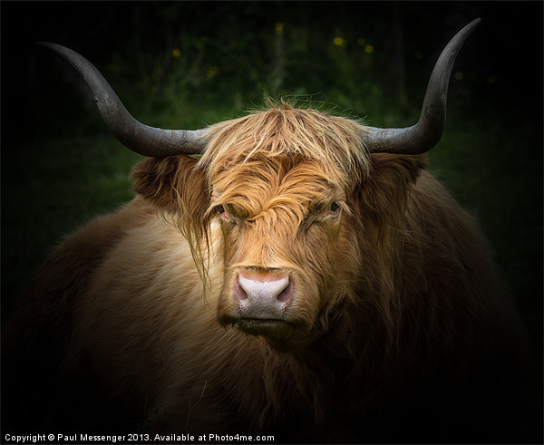 Highland Cow Canvas print by Paul Messenger