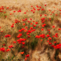 Buy canvas prints of red poppy field by Jo Beerens