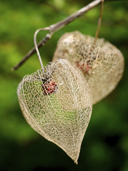 Physalis Canvas print by Jo Beerens