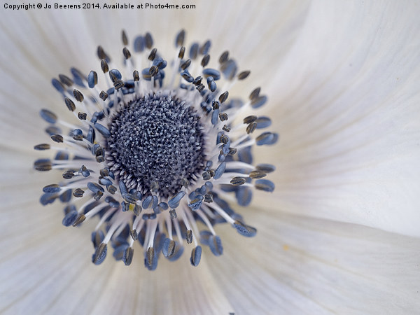 anemone Canvas print by Jo Beerens