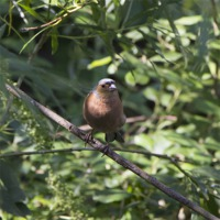 Buy canvas prints of chaffinch by DSLR Creations