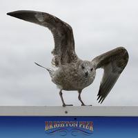 Buy canvas prints of  Brighton Herring gull by DSLR Creations