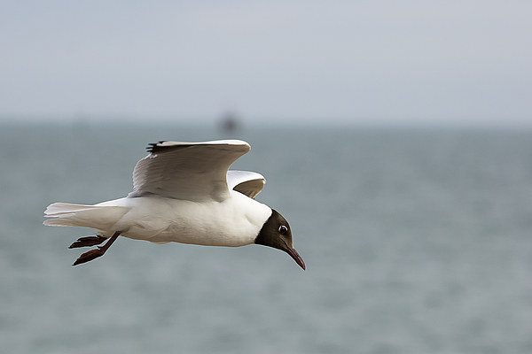 Black headed gull in flight Canvas print by DSLR Creations