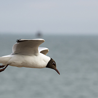 Buy canvas prints of  Black headed gull in flight by DSLR Creations