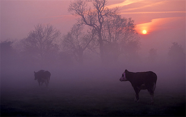 cows at sunrise Canvas print by meirion matthias