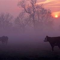 Buy canvas prints of cows at sunrise by meirion matthias