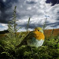Buy canvas prints of european robin 2. by meirion matthias