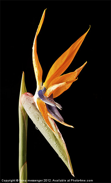 Bird of Paradise Canvas print by Fiona Messenger