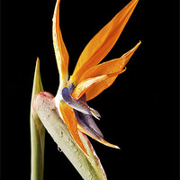 Buy canvas prints of Bird of Paradise by Fiona Messenger