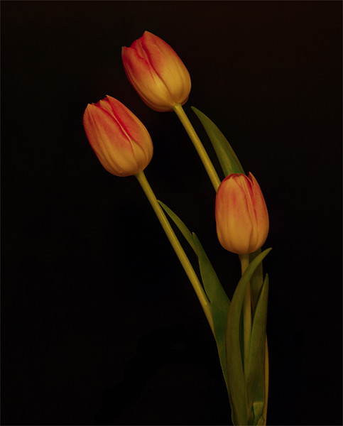 Tulips Canvas print by Sara Messenger