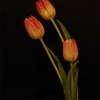 Buy canvas prints of Tulips by Sara Messenger