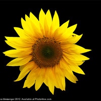 Buy canvas prints of Sunflower by Sara Messenger