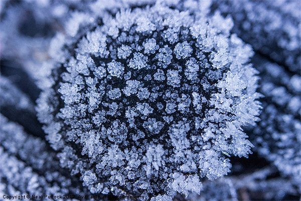 Ice Flower Canvas print by Neal Puttock