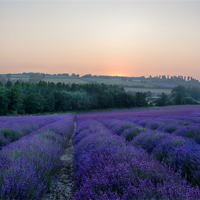 Buy canvas prints of Lavender Field by Neal Puttock
