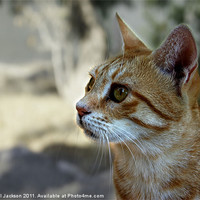 Buy canvas prints of Ginger Cat by Rachael Jackson