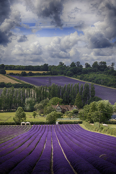 Lavender Field Canvas print by Phil Clements